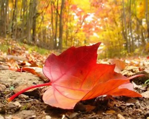 28043-autumn-falling-leaf-free-beautiful-wallpaper-download-for-your