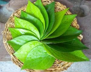 wpid-betel-leaf-jpg