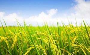 slider1-rice_plant_with_cloud_v3